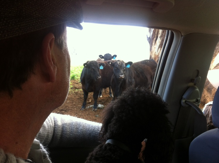 Boo Boo very interested in cows